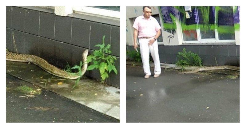 Тюменцы поймали 3-х метровую змею и отвезли ее на обследование в клинику