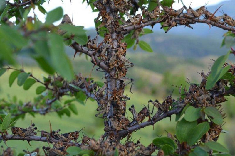 Полчища саранчи атакуют курортный Сочи
