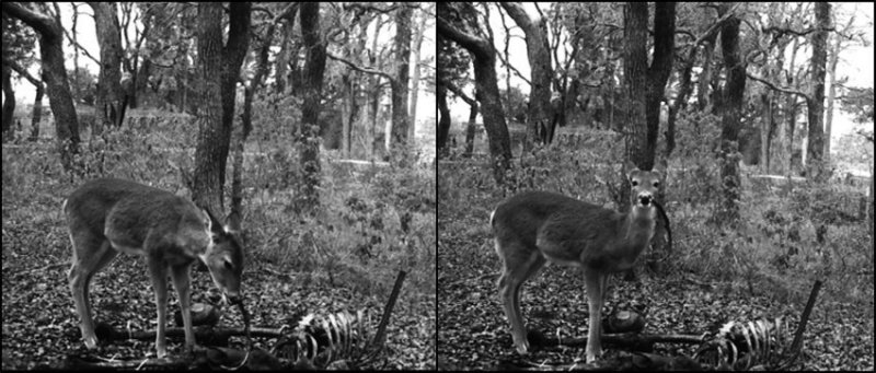 В Приморье олени расширили рацион. Чем же они теперь питаются?