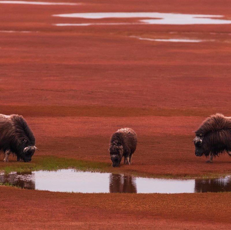 Остров Большой Бегичев , площадью 1800 кв. км, в море Лаптевых, Якутия
