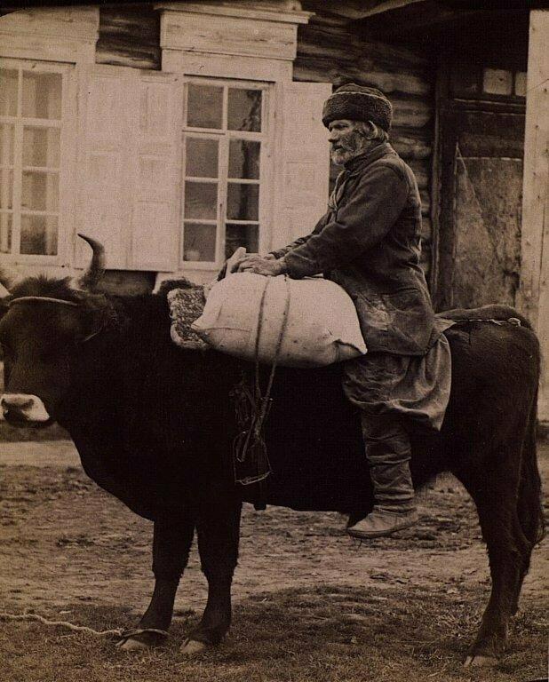 Перевозка вещей на быке, 1870–1880-е годы