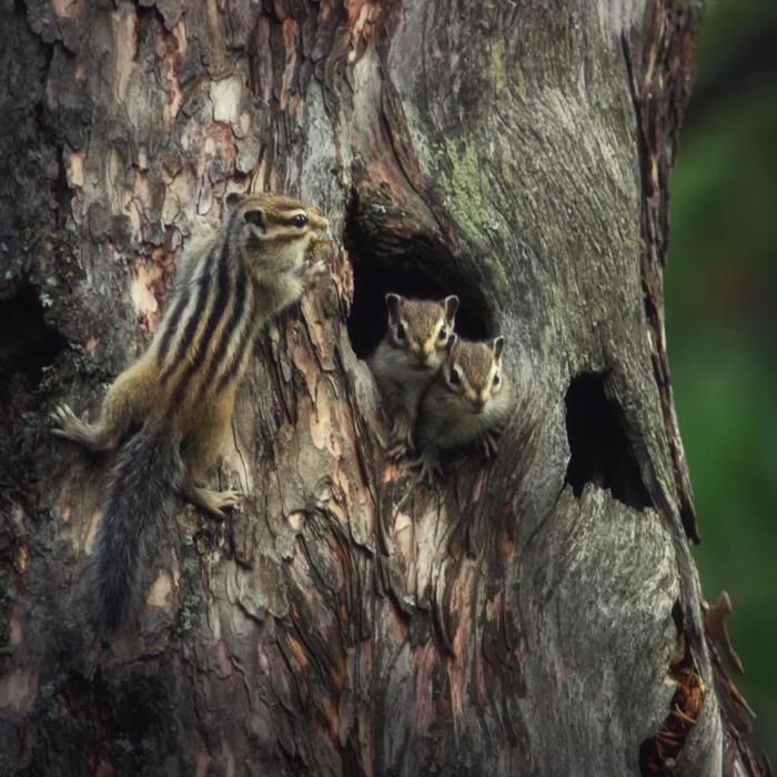 «Заботливая мама». Автор фото: Вадим Кононенко National Geographic, животные, природа, природа россии, фотографии