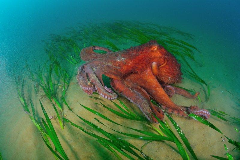 «Гуляющий Гигантский осьминог Дофлейна». Автор фото: Андрей Шпатак National Geographic, животные, природа, природа россии, фотографии