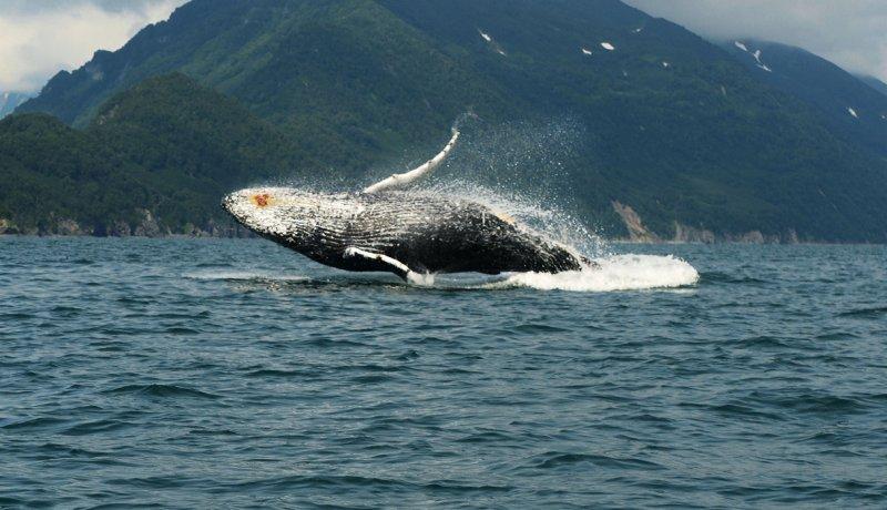 «Я водяной, я водяной!». Автор фото: Гокоева Ольга National Geographic, животные, природа, природа россии, фотографии