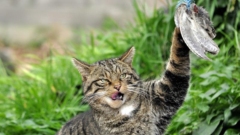Кавказская лесная кошка – милый хищник от Новичок за 10 января 2019 14:10 Красная книга, животные, кошка, хищник