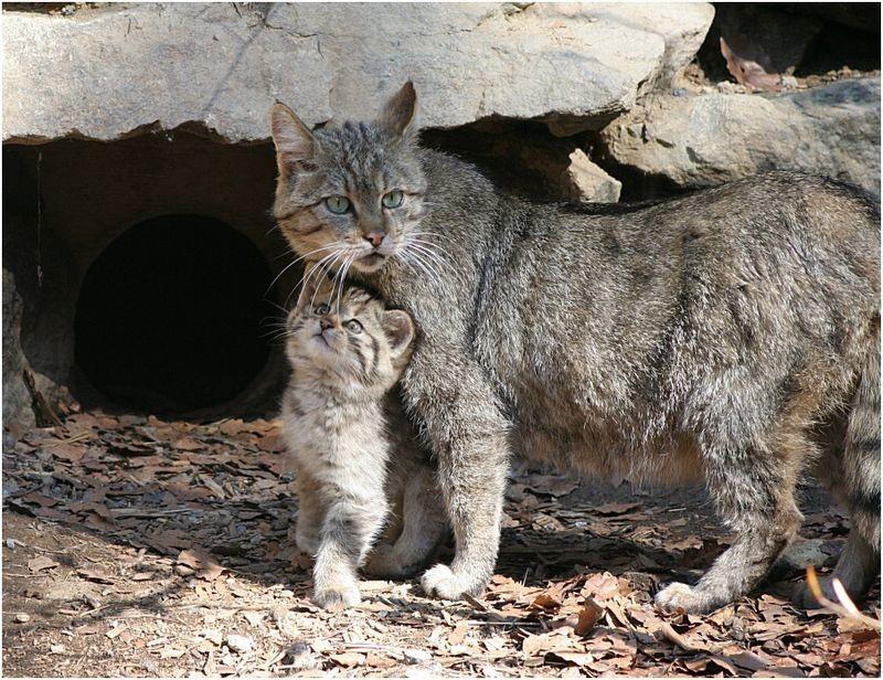 Кавказская лесная кошка – милый хищник от Новичок за 10 января 2019 Красная книга, животные, кошка, хищник