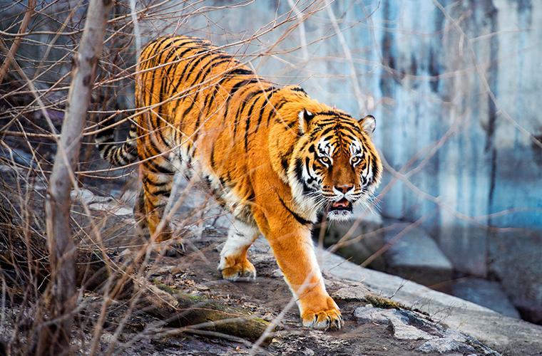 Амурский тигр: властелин северных просторов Красная книга, Россия, амурский тигр, север, хищник