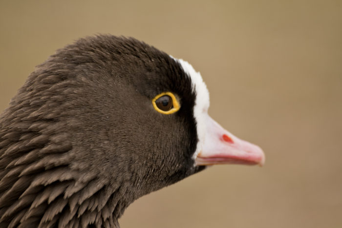 Пискулька: тонкоголосая птица