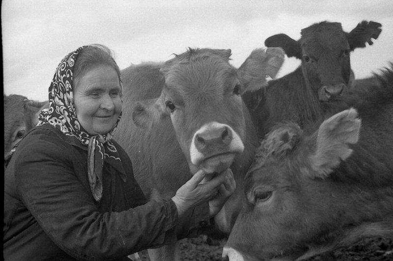 Телятница с любимыми буренками, 1977 год