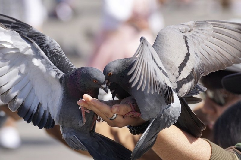 Жителей Магадана возмутил запрет на кормление голубей