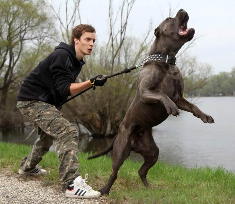 Агрессия и сила: правительство России назвало потенциально опасных собак