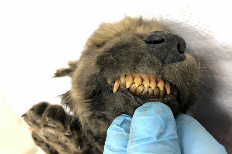 В Сибири найден щенок возрастом 18 тысяч лет