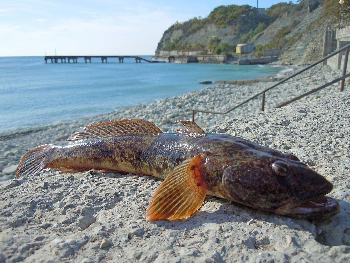 Рыба черного моря фотографии одна модная