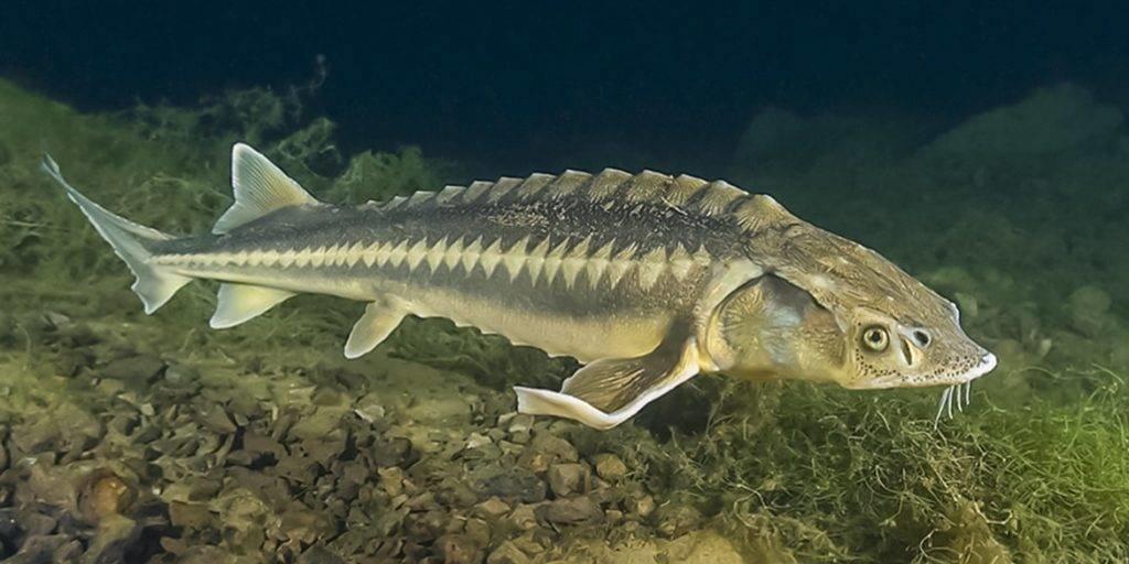Промысловая рыба Черного моря