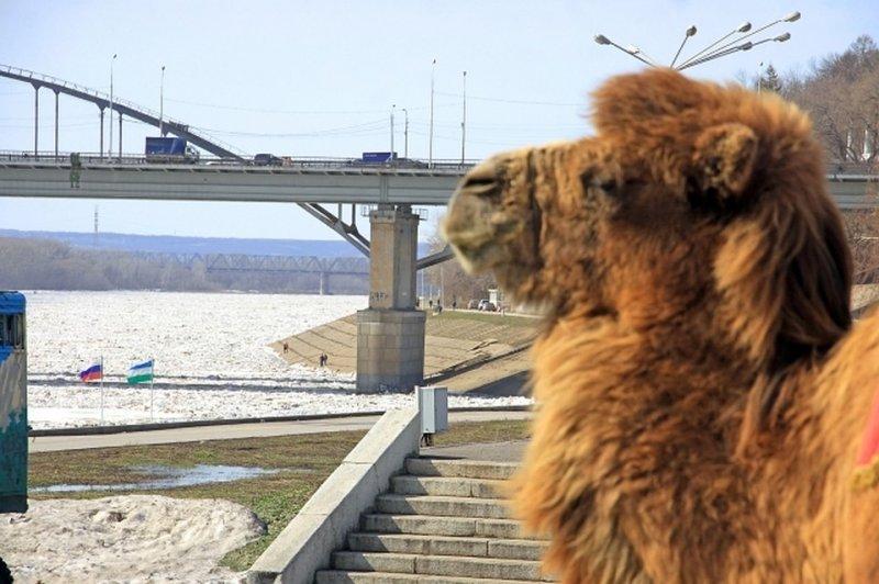 В Астрахани верблюд задержал движение поезда на два часа