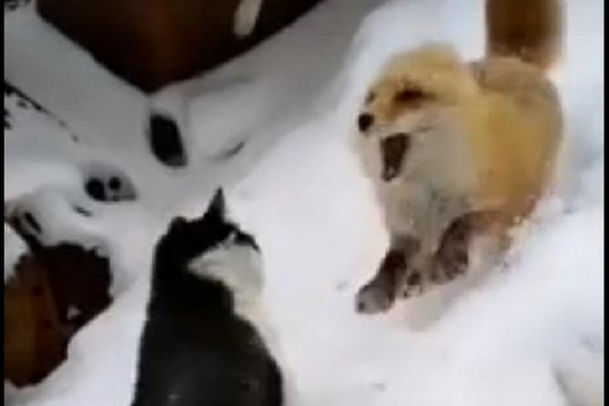 Поединок кота и лисы за кусок колбасы на Ямале облетел соцсети