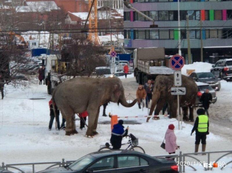 По улицам Екатеринбурга прогулялась пара слонов