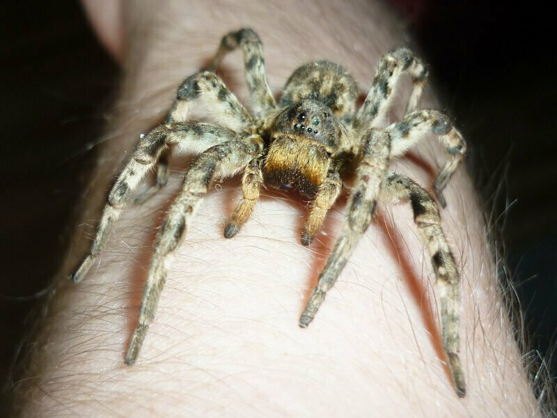 Мизгирь: устрашающий тарантул, который обитает в России