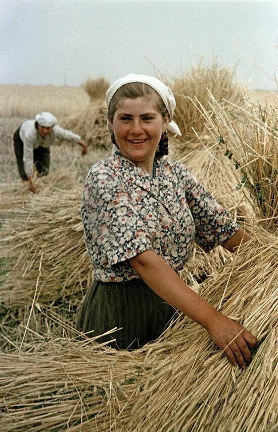 Сбор урожая пшеницы в украинском колхозе, 1950