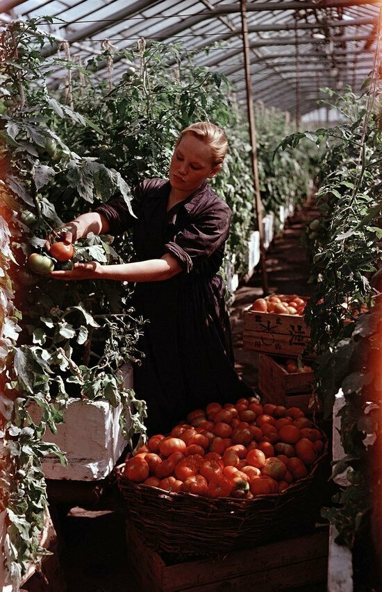 Сбор томатов, Московская область, 1950