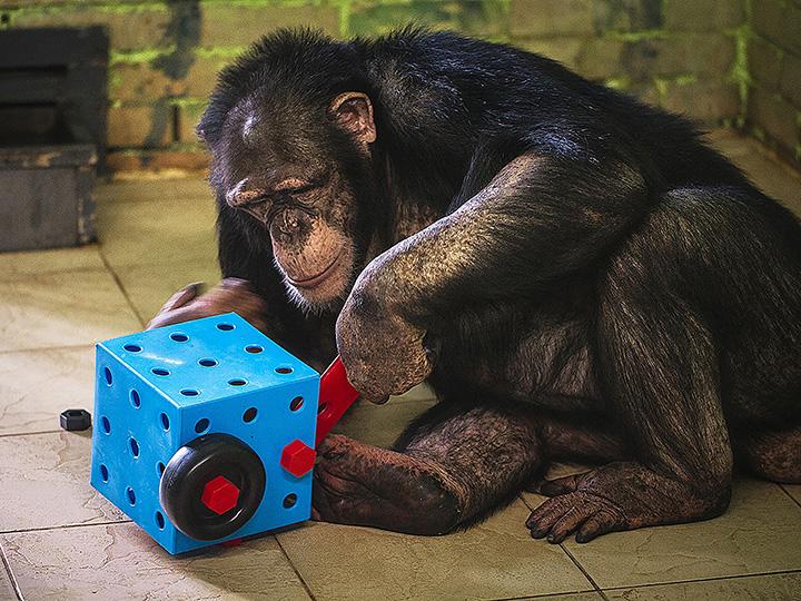 Чтобы не впали в депрессию: красноярским шимпанзе показывают мультики