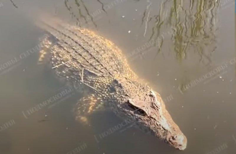 В Подмосковье выловили живого и вполне упитанного крокодила