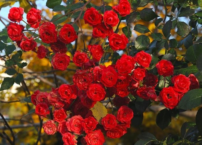 "Афанасий Фет. ""Сентябрьская роза"""