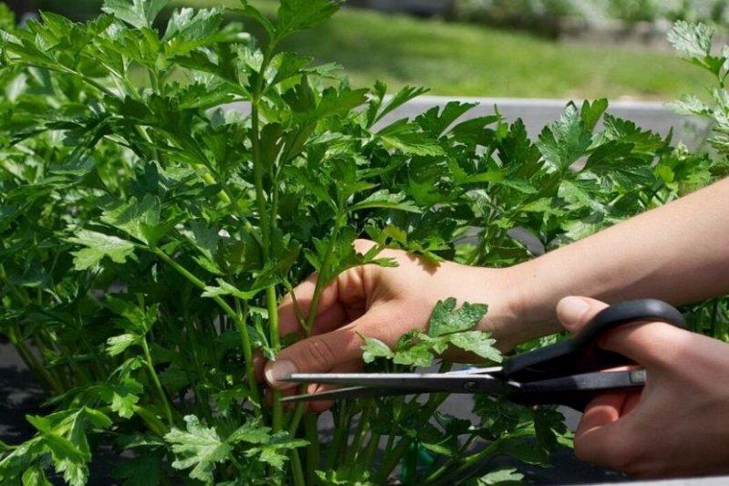 За выращивание петрушки теперь можно получить штраф и судимость