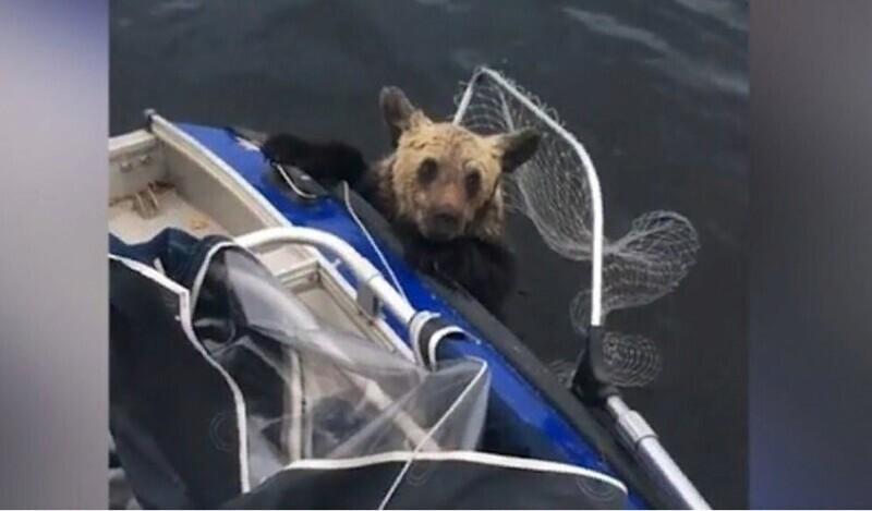Рыбаки сачком выловили запыхавшегося медвежонка из реки Ямала